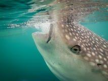 Free Whale Shark Gulping, Indonesia Stock Photos - 67441073