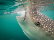 Whale Shark Gulping, Indonesia Stock Photos
