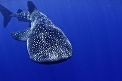 Free Whale Shark Head On Stock Images - 19318344