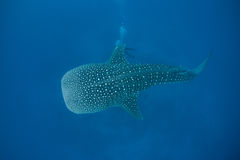 Whale Shark. A large whale shark swims in deep blue ocean water. This is the largest species of shark in the world. Found worldwide in tropical seas, they feed Stock Photo