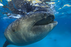 Whale Shark. Largest fish in the world stock photos