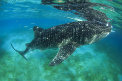 Whale Shark. Largest fish in the world stock photo