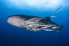 Whale shark in maldives. Whale shark with lot of remora in maldives royalty free stock photo