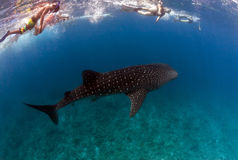 Whale shark in maldives Royalty Free Stock Image