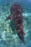 Whale shark in maldives. Whale shark in snorkeling in maldives stock image