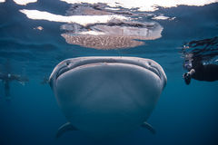 Whale Shark Mouth Royalty Free Stock Photo