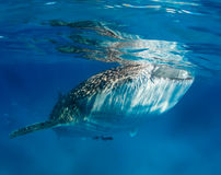 Whale shark near the ocean surface royalty free stock images