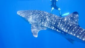 Whale shark near the snorkel near the surface in the open sea, against the background of sea water, the Red Sea, Ras stock photography