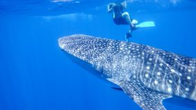 Whale shark near the snorkel near the surface in the open sea, against the background of sea water, the Red Sea, Ras royalty free stock photo