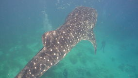 Whale Shark in ocean. stock video