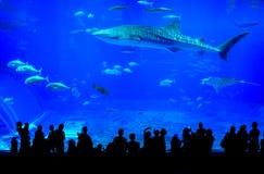 Whale shark in Okinawa Churaumi Aquarium in Japan royalty free stock photos