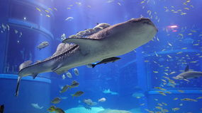 Whale shark in Osaka Aquarium. Fishes swimming together with the whale shark, largest fish in the world stock photos