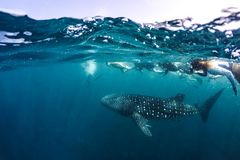 Whale shark and people snorkel underwater scene marine life in sunlight in the blue sea. Snorkeling and scuba Maldives underwater. Whale shark and an amazing stock photography
