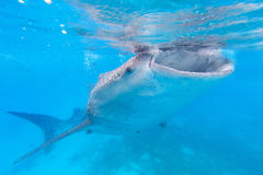 Whale shark in the Philippines, Oslob.  stock image