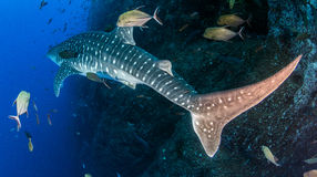 Whale shark. Picture shows a whale shark during a scuba dive stock image