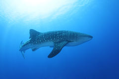 Whale Shark in the Red Sea. These gentle giants filter plankton and are not aggressive at all. It's on the must-see-list of every diver in the world royalty free stock image