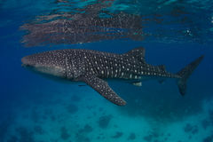 Whale shark. Reflection of a whale shark in the Philippines stock photography