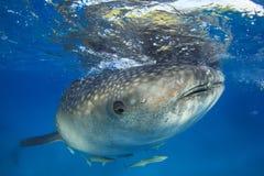Whale Shark Stock Photography