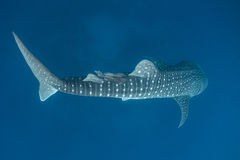 Whale Shark and Remoras Royalty Free Stock Photography