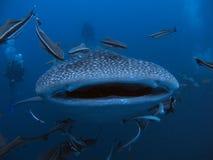 Whale Shark - Rhincodon typus. Whale Shark Rhincodon typus Coral Garden Fish Blue Water Marine life royalty free stock photography