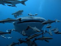 Whale Shark - Rhincodon typus Stock Photo