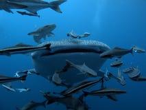 Whale Shark - Rhincodon typus. Whale Shark Rhincodon typus Coral Garden Fish Blue Water Marine life stock photo