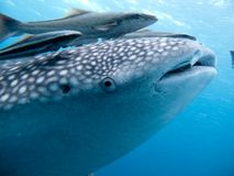 Whale Shark - Rhincodon typus. Whale Shark Rhincodon typus Coral Garden Fish Blue Water Marine life royalty free stock photos