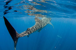 Whale Shark. A whale shark, (rhincodon typus) the biggest fish in the world. Caribbean sea stock image