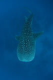 Whale Shark  Royalty Free Stock Photos