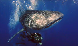 Whale shark (Rhincodon typus) and diver Royalty Free Stock Photography