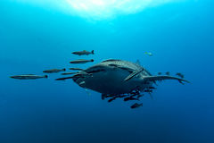 Whale Shark Rhincodon typus the largest fish in the animal kin. Swimming Whale Shark Rhincodon typus the largest fish in the animal kingdom Royalty Free Stock Images