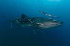 Whale Shark Rhincodon typus the largest fish in the animal kin Royalty Free Stock Photography