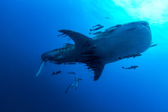 Whale Shark Rhincodon typus the largest fish in the animal kin. Swimming Whale Shark Rhincodon typus the largest fish in the animal kingdom stock images