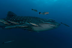 Whale Shark Rhincodon typus the largest fish in the animal kin Stock Photos