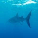 Whale shark (Rhincodon typus). Maldives stock photography