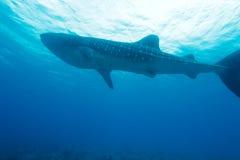 Whale shark (Rhincodon typus). Maldives stock image