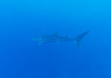 Whale shark (Rhincodon typus), Maldives Royalty Free Stock Photography