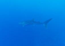 Whale shark (Rhincodon typus), Maldives Royalty Free Stock Photography