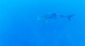 Whale shark (Rhincodon typus), Maldives Royalty Free Stock Photo