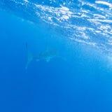 Whale shark (Rhincodon typus), Maldives Stock Image