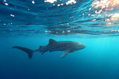 Whale Shark Rhincodon typus swimming at crystal clear blue w. Aters near the surface at Ko Losin . the Gulf of Thailand . Marine life and underwater scene, sun stock photo
