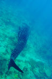 Whale Shark Royalty Free Stock Photography