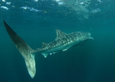 Whale shark royalty free stock photos