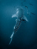 Whale Shark - Rhincodon typus. Tropical Coral Reef royalty free stock photography
