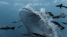 Whale Shark - Rhincodon typus. Tropical Coral Reef royalty free stock images