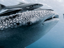 Whale Shark - Rhincodon typus Royalty Free Stock Photography