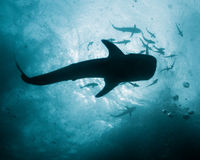 Whale Shark - Rhincodon typus. Tropical Coral Reef stock photos