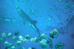 Whale shark Rhincodon typus. And other fishes in ocean, under water photo royalty free stock images