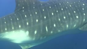 Whale shark Rhiniodon typus near Darvin island. Galapagos islands. stock video footage