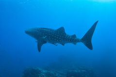 Whale shark in Richelieu Rock, North Andaman, Royalty Free Stock Images